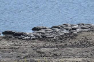 A raft of Hippos.