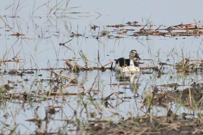 Knob-billed Duck. Buffalo Park.