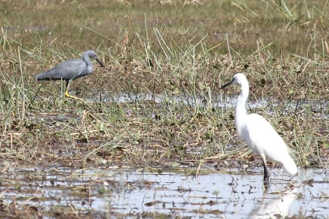 Slaty Egret and Little Egret. Buffalo Park.