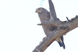 Western-banded Snake-Eagle. Mahango