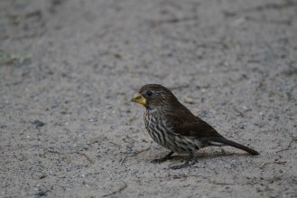 Female Thick-billed Weaver