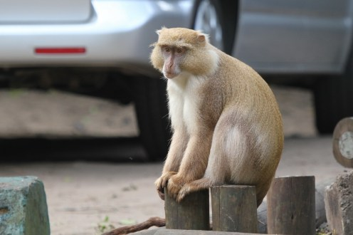 Samango Monkey - a little off-colour.