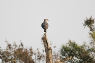 Southern-banded Snake-Eagle