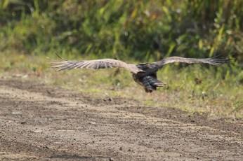 Juvenile African Cuckoo Hawk