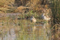 Curlew Sandpiper in partial breeding plumage