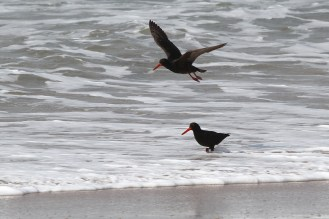 African Black Oystercatchers