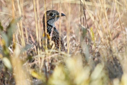 Shelley's Francolin, Marakele