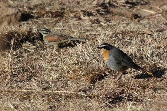 Cape Robin-Chat and Cape Bunting