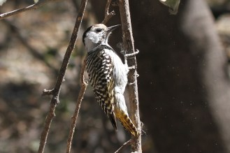 Cardinal Woodpecker - female