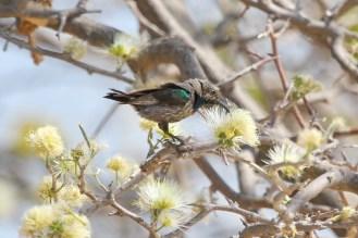 Marico Sunbird. Shamvura