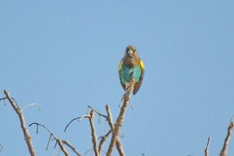 Meyer's Parrot. Shamvura.