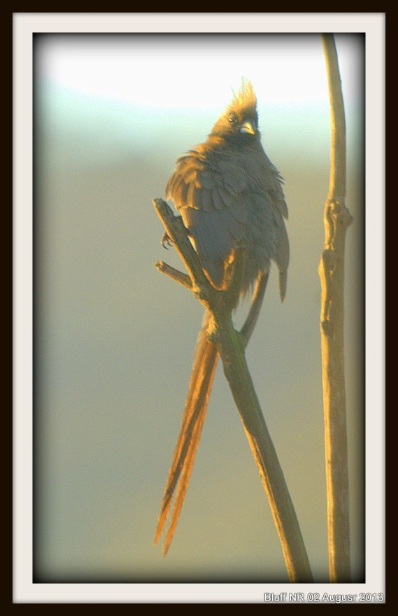 Speckled Mousebird (2)