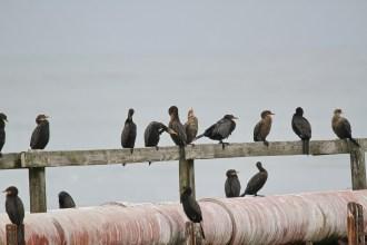 Cape Cormorants. Swakopmund