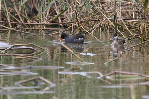 Common Moorhen and Hottentot Teal at sewerage works. Swakopmund