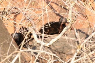 Black Mongoose for ID. Seen in Waterberg, Namibia