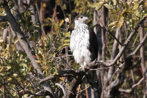 African Hawk-Eagle. Waterberg, Namibia