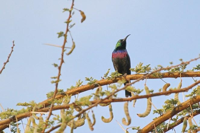 Marico Sunbird. Waterberg, Namibia