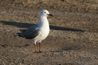 Hartlaub's Gull. Swakopmund