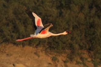 Lesser Flamingo - in the estuary. Swakopmund