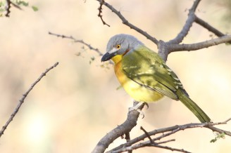 Grey-headed Bush-Shrike, Francistown, Botswana