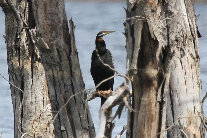 Australian Darter - Lake Eppalock, nr Bendigo