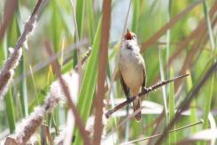 Australian Reed-Warbler, Bendigo