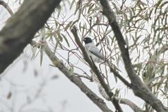 Black-faced Cuckoo-shrike, Greater Bendigo NP