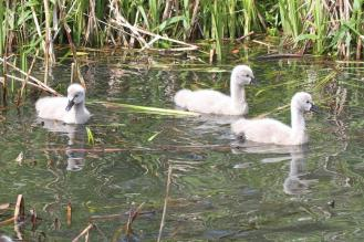 Black Swan Signets - Bot Gardens, Melbourne