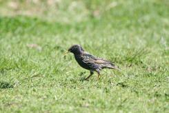 Common Starling, Bendigo