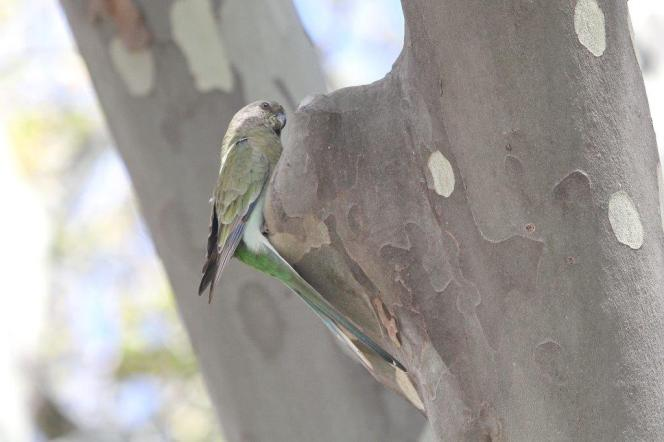 Red-rumped Parrot - female, Bendigo