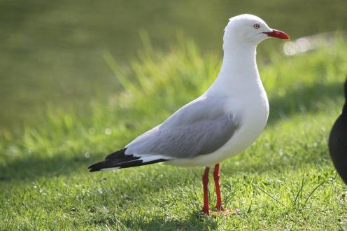 Silver Gull, Bendigo
