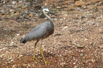 White-faced Heron, Greater Bendigo NP