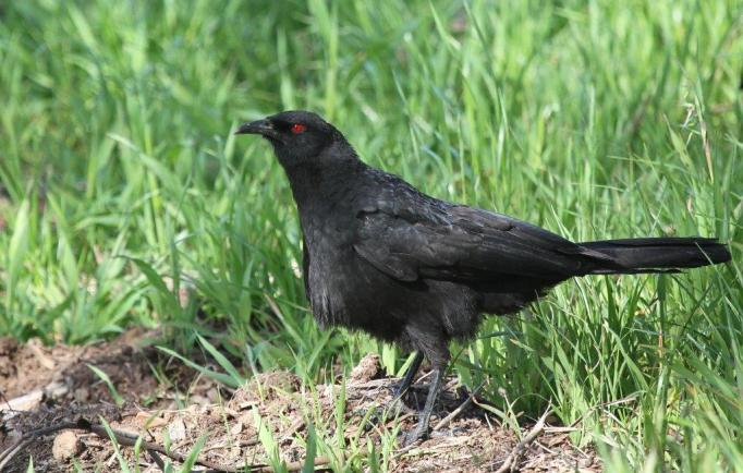 White-winged Chough - Bendigo