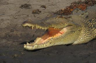 Australian Sea-water crocodile, Gagudju - Yellow Water