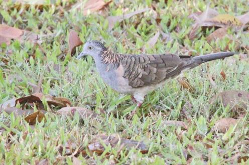 Bar-shouldered Dove, Charles Darwin