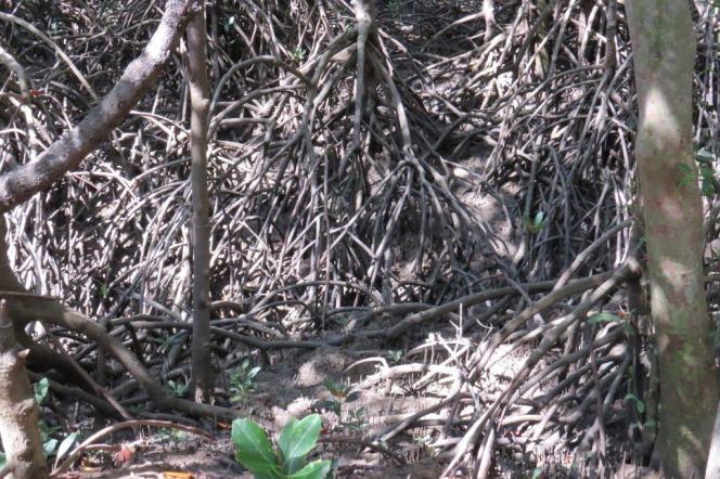Mangrove entanglement, Buffalo Creek