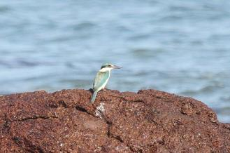 Collared Kingfisher - contentious, East Point