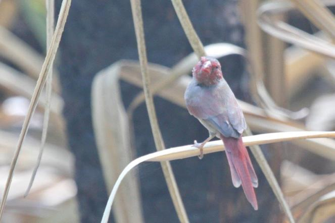 Crimson Finch, Holmes Jungle