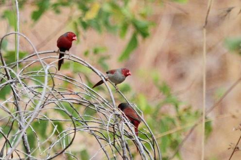 Crimson Finches, Ferguson River