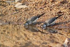 Double-banded Finches, Ferguson River