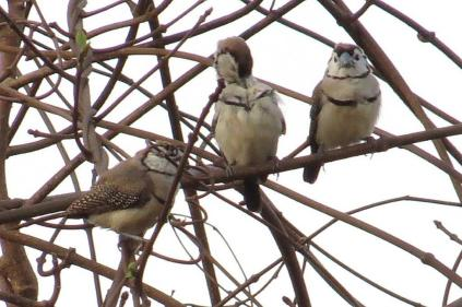 Double-banded Finches, Mary River Camp