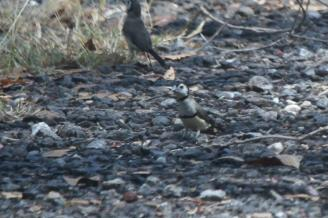 Double barred Finch, Charles Darwin