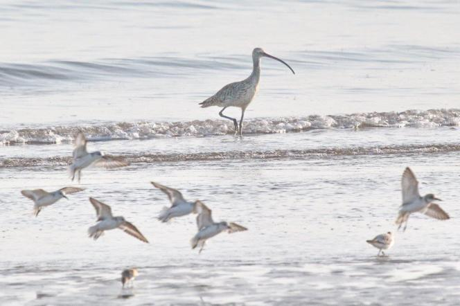 Eastern Curlew, Lee Point