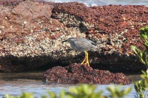 Striated Heron, East Point