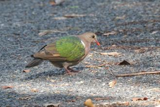 Emerald Dove, Charles Darwin
