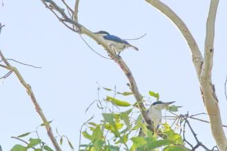 Forest Kingfisher, Charles Darwin