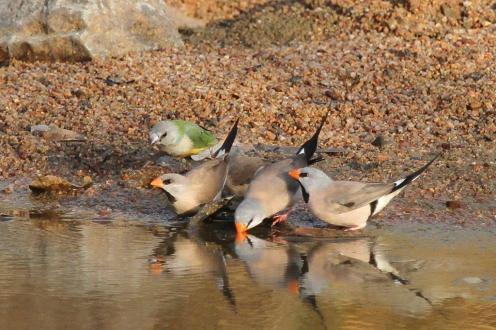 Gouldian and Long-tailed Finches, Ferguson River