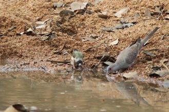 Goudian Finch & Diamond Dove, Ferguson River