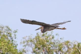 Great-billed Heron, Gagudju - Yellow Water