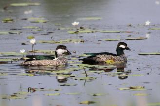 Green Pygmy-Gooses, McMinns Lagoon